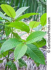 mitragyna speciosa korth (kratom) a drug from plant to a ...