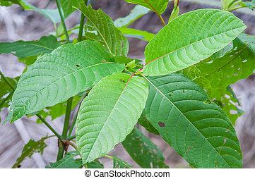 mitragyna speciosa korth (kratom) a drug from plant to a...