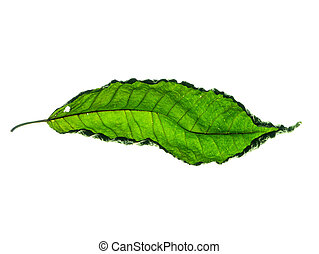 Mitragyna speciosa leaves.