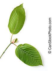 mitragyna speciosa, kratom leaf