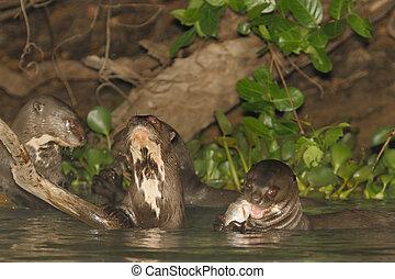 mittagstisch, riesig, fluss- otter
