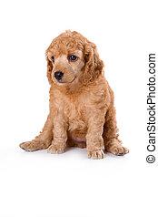 mittel, franzoesischer pudel, junger hund
