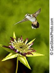 mitten in der luft, schweben, winzig, kolibri