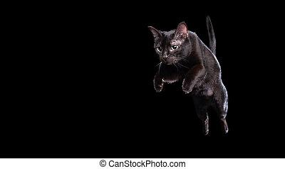 mittler, springende , schwarz, backgroud, katz, luft