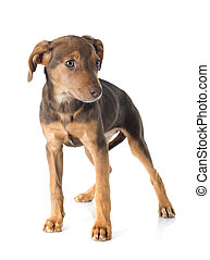 mix breed doberman in front of white background