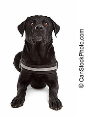 mix breed dog, Labrador, Rottweiler, in front of white...