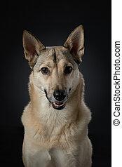 mix dog funny portrait. Charming pet in studio on black