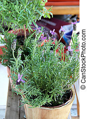 Mix of herbs in the pot - Rosemary, lavender and other herbs...