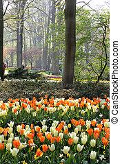 Mix of Holland white and orange tulips