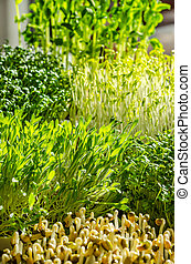 Mix of sprouting microgreens in the sunlight