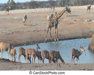 Mixed animals at waterhole Etosha National Park, Namibia...