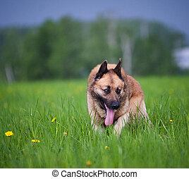 Mixed belgian shepherd dog in the field