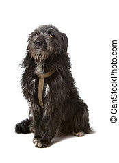 mixed breed black dog isolated on a white background