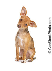 mixed breed chihuahua and miniature Pincher dog in front of a white background