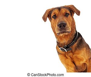 Mixed Breed Closeup - A closeup of an adult large breed...