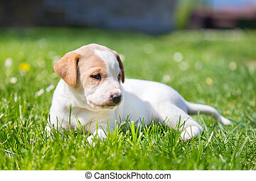 Mixed-breed cute little puppy on grass.