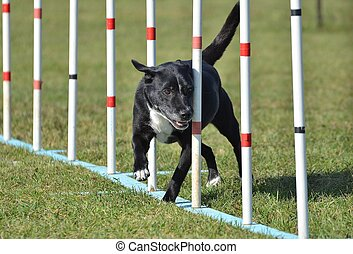 Mixed-Breed Dog at Agility Trial - Black Mixed-Breed Dog...