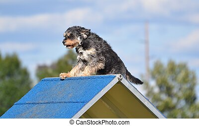 Mixed-Breed Dog at Agility Trial - Small Mixed-Breed Dog...