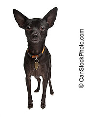 cross breed of a Miniature Pinscher and a chihuahua dog