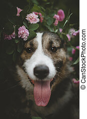 Mixed breed dog in a garden with roses