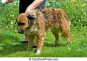 Mixed breed dog is taking a shower in the garden