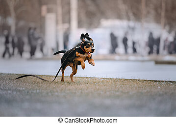 mixed breed dog running in the park on a leash