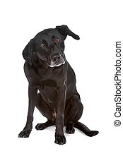 Mixed breed dog sitting, isolated on a white background