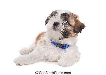 mixed breed dog - mixed breed puppy in front of a white...