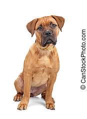 mixed breed Dogue de Bordeaux puppy