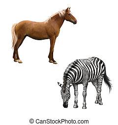 Mixed breed horse standing, zebra bent down eating grass ....