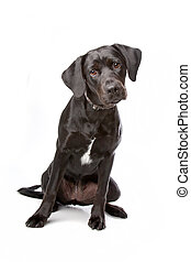 mixed breed lab cross - one year old isolated on white...
