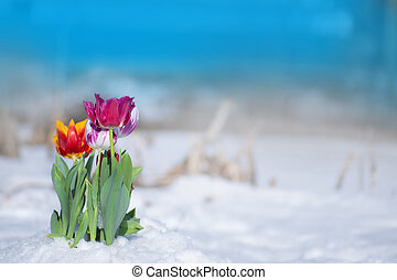 Mixed color tulips on a bright sunny day on the snow