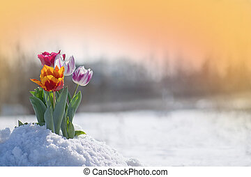 Mixed color tulips with melting snow. Flowers in the snow