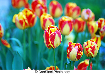 Mixed colored of tulips in a garden