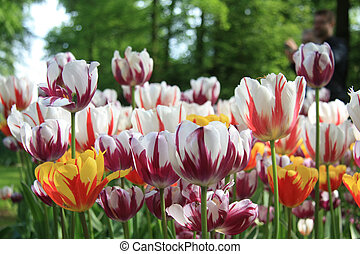 Mixed colored tulips