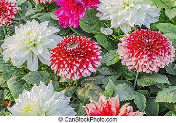 Mixed dahlia flowers