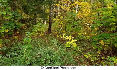 Mixed deciduous and spruce forest in autumn - Mixed...