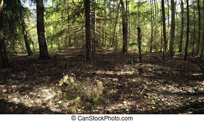 Mixed forest. Fir-trees and birches. 1080p video with...