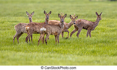 Mixed Group of Roe Deer in grassland environment - Mixed...
