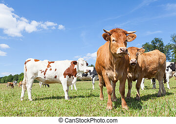 Mixed herd of Holstein dairy and Limousin beef cows in a sunny pasture
