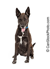 Mixed Large Breed Black Dog - A happy Large Mix Breed Dog...