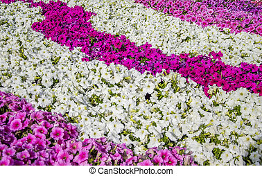 Mixed petunia flowerbed