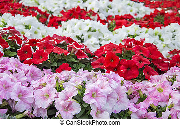 Mixed petunia flowers