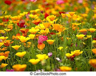 Mixed poppy display in a summer garden