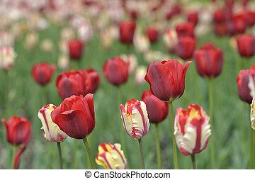 mixed tulips in a garden