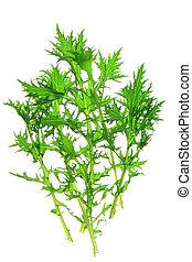Mizuna (Brassica rapa var. nipposinica) - fresh green leaves...