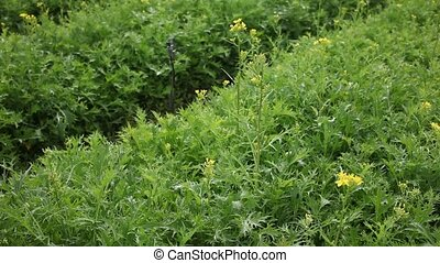 mizuna plants carefully growing in the garden - Rows of ...