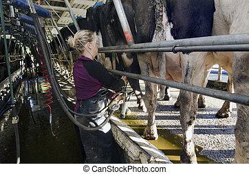 mjölkbud, mjölkande, kor, mjölker, lätthet