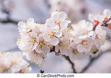 mjuk, bakgrund, med, blomningen