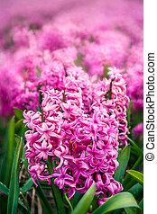 mjuk, blommig, bakgrund, med, hyacint